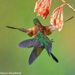 9059 Territoriality, Buff-tailed Coronet (Boissonneauna flacescens), Guango Lodge, Ecuador
