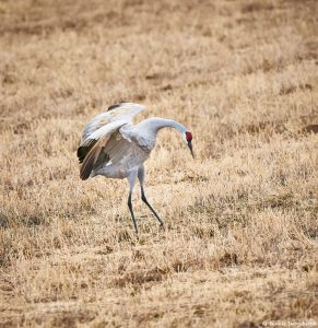 8426 Sandhill Crane (Grus canadensis) Courtship Dance, Bosque del Apache, NM