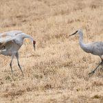 8427 Sandhill Crane (Grus canadensis) Courtship Dance, Bosque del Apache, NM