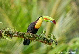 8464 Keel-billed Toucan (Ramphastois sulfuratus), Laguna del Lagarto Lodge, Costa Rica