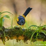 8466 Black-cowled Oriole (Icterus prosthemelas), Laguna del Lagarto Lodge, Costa Rica