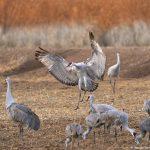 8432 Sandhill Crane (Grus canadensis), Bosque del Apache, NM