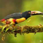 8470 Collared Aracari (Pteroglossus toequatus), Laguna del Lagarto Lodge, Costa Rica