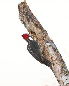 8472 Pale-billed Woodpecker (Campephilus guatemalensis), Laguna del Lagarto Lodge, Costa Rica