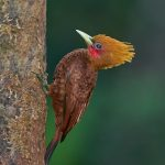 8989 Chestnut-colored Woodpecker(Celeus castaneus), Costa Rica