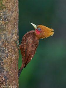 8989 Chestnut-colored Woodpecker(Celeus castaneus), Costa Rica