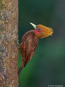 8476 Chestnut-colored Woodpecker (Celus castaneus), Laguna del Lagarto Lodge, Costa Rica