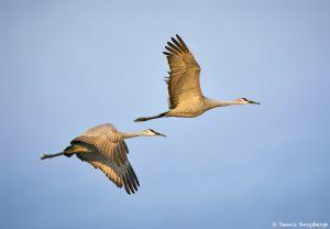 8433 Sandhill Cranes (Grus canadensis), Bosque del Apache, NM