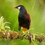 8478 Montezuma Oropendola (Psarocolius montezuma), Laguna del Lagarto Lodge, Costa Rica