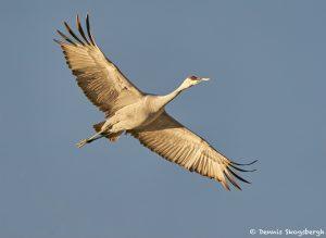 8411 Sandhill Crane (Grus canadensis), Bosque del Apache, NM