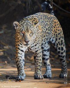 8126 Jaguar (Panthera onca), Pantanal, Brazil