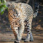 8127 Jaguar (Panthera onca), Pantanal, Brazil