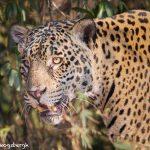 8128 Jaguar (Panthera onca), Pantanal, Brazil