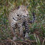 8129 Jaguar (Panthera onca), Pantanal, Brazil
