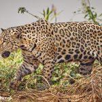 8130 Jaguar (Panthera onca), Pantanal, Brazil