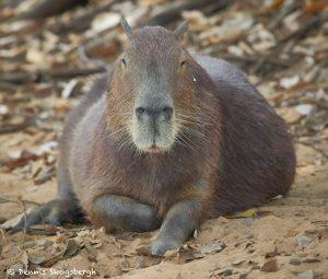 8071 Capybara (Hydrochoerus hydrochaeris), Pantanal, Brazil