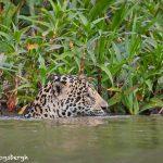 8133 Jaguar (Panthera onca), Pantanal, Brazil