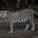 8134 Jaguar (Panthera onca), Pantanal, Brazil