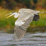 8137 Cocoi Heron (Ardea cocoi), Pantanal, Brazil