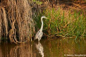 8141 Cocoi Heron (Ardea cocoi), Pantanal, Brazil