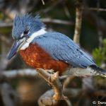 8143 Male Ringed Kingfisher (Megaceryle torquata), Pantanal, Brazil