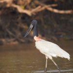 8145 Jabiru (Jabiru mycteria), Pantanal, Brazil