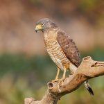 8147 Roadside Hawk (Buteo magnirostris), Pantanal, Brazil