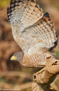 8148 Roadside Hawk (Buteo magnirostris), Pantanal, Brazil