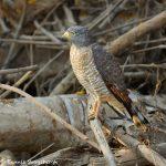 8149 Roadside Hawk (Buteo magnirostris), Pantanal, Brazil