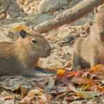 8150 Capybara (Hydrochoerus hydrochaeris), Pantanal, Brazil