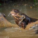 8151 Giant River Otter (Pteronura brasiliensis), Pantanal, Brazil