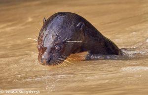 8152 Giant River Otter (Pteronura brasiliensis), Pantanal, Brazil