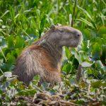 8155 Capybara (Hydrochoerus hydrochaeris), Pantanal, Brazil