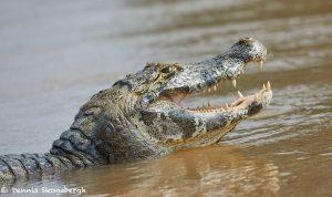 8157 Caiman, Pantanal, Brazil