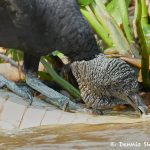 8163 Black Vulture (Coragyps atratus), Pantanal, Brazil