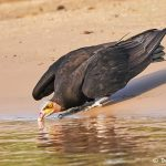 8268 Lesser Yellow-headed Vulture (Cathartes burrovianus), Pantanal, Brazil