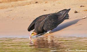 8268 Lesser Yellow-headed Vulture (Cathartes burrovianus), Pantanal, Brazil