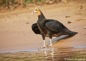 8269 Lesser Yellow-headed Vulture (Cathartes burrovianus), Pantanal, Brazil