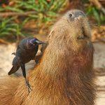 8270 Capybara (Hydrochoerus hydrochaeris), Pantanal, Brazil