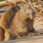 8271 Capybara (Hydrochoerus hydrochaeris), Pantanal, Brazil
