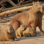 8272 Capybara (Hydrochoerus hydrochaeris), Pantanal, Brazil