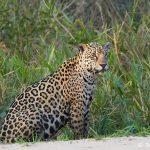 8275 Jaguar (Panthera onca), Pantanal, Brazil