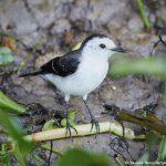 8278 Black-backed Water Tyrant (Fluvicola akbiventer), Pantanal, Brazil