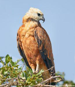 8279 Black-collard Hawk (Busarellus nignicollis), Pantanal, Brazil