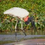 8280 Jabiru (Jabiru mycteria), Pantanal, Brazil