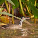 8281 Sungrebe (Heliornis fulica), Pixaim River, Pantanal, Brazil