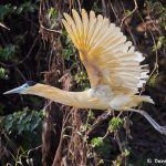 8281 Capped Heron (Pilherodius pileatus), Pantanal, Brazil