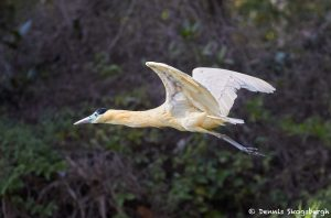 8282 Capped Heron (Pilherodius pileatus), Pantanal, Brazil