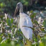8283 Wood Stork (Mycteria americana), Pantanal, Brazil