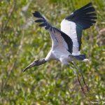 8284 Wood Stork (Mycteria americana), Pantanal, Brazil